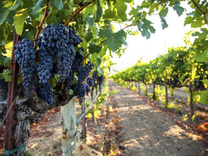 grape cluster at a winery in geneva ohio