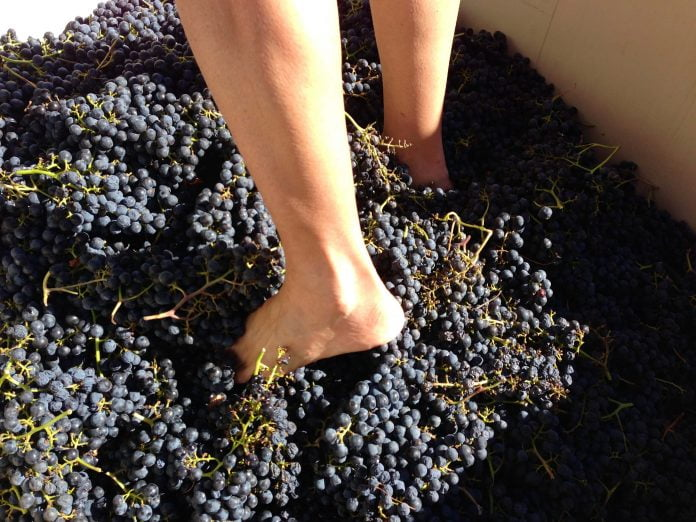 a person standing in a giant bucket of grapes for the grape stomping competition at the geneva grape jamboree.