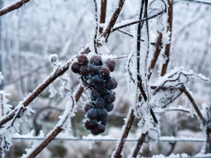 frozen grapes for ice wine: everything you need to know about the Grand River Valley Ice Wine Festival.